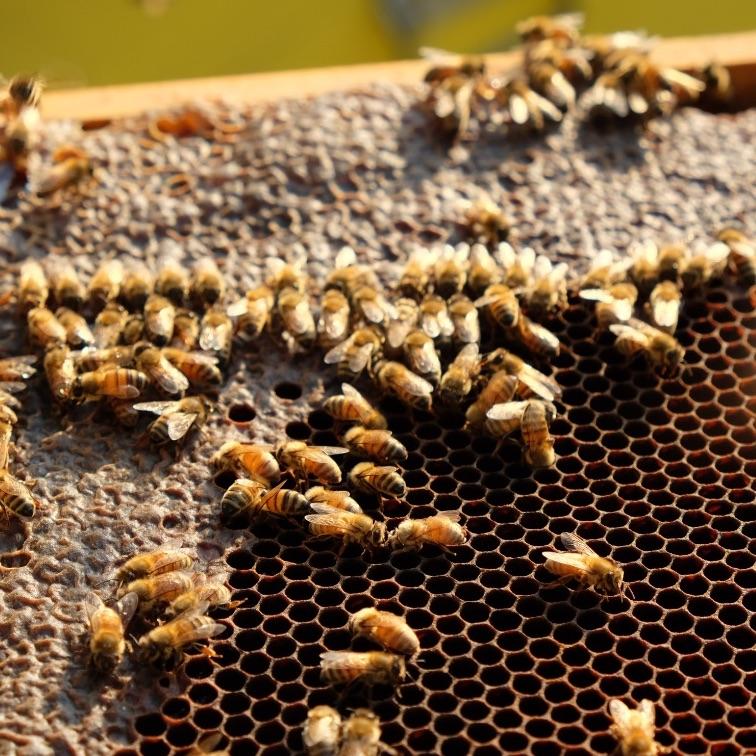 miele-api-arnia-ape-operaia-ape-bottinatrice